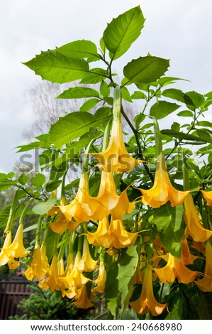 Big yellow brugmansia called angels trumpets stock photo image big yellow brugmansia called angels trumpets or datura flowers sag from twig plant with beautiful mightylinksfo
