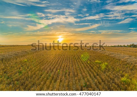 Big yellow field after harvesting. Mowed wheat fields under beautiful blue sky and clouds at