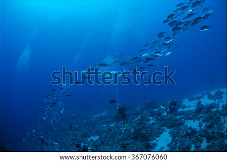 Bigeye trevally-Caranx sexfasciatus of Red Sea
