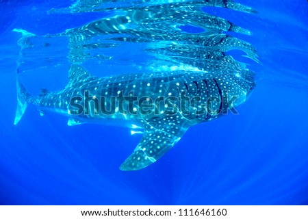 Biggest fish on the planet the whale shark  (Rhincodon typus) swims effortlessly as it feeds in the clear waters in the gulf of mexico. - stock photo
