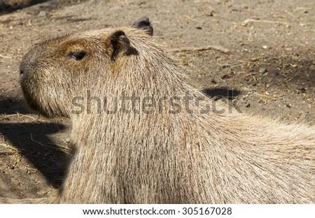 Biggest rodent around the world, Capybara or  Hydrochoerus hydrochaeris - stock photo
