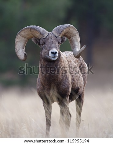 Bighorn Ram, wild mountain sheep, Rocky Mountains, Montana, USA; big game hunting trophy horns - stock photo