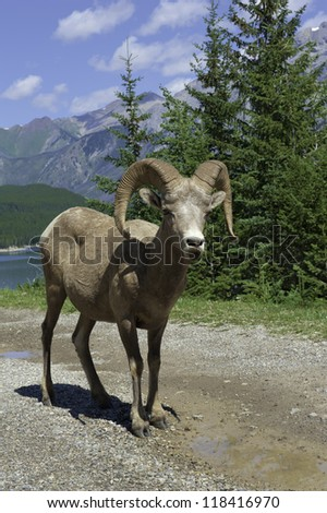 Bighorn Sheep A Bighorn Sheep stands by a lake of Rocky Mountains, AB, Canada - stock photo