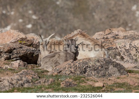 Bighorn Sheep Ewe and Lamb in the Colorado High Country