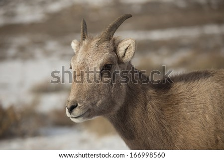 Bighorn Sheep Ewe (Female) - stock photo
