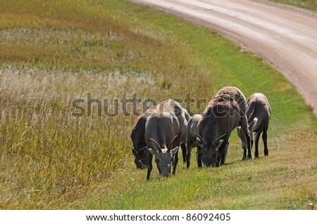 Bighorn sheep grazing in grasslands of Badlands National Park in South Dakota - stock photo