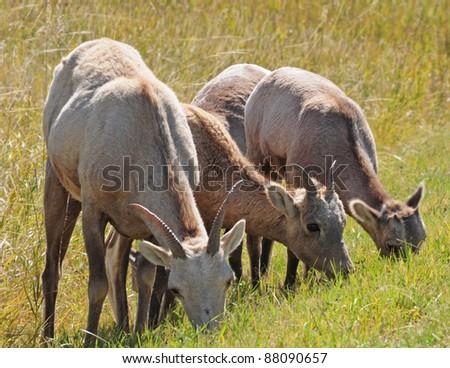 Bighorn sheep grazing in grasslands of Badlands National Park, South Dakota - stock photo
