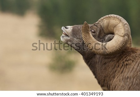 Bighorn Sheep, huge ram with full curl horns, doing a lip curl, or flehmen response, during the autumn rut, or mating season Ovis canadensis