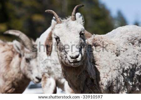 Bighorn Sheep in Banff National Park, Alberta, Canada - stock photo