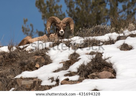 Bighorn Sheep Laying Down Atop a Ridge in Yellowstone National Park - stock photo