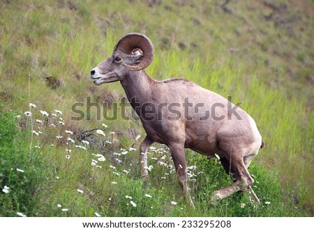 Bighorn sheep on a hillside in Alberta, Canada