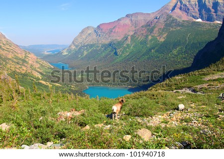 Bighorn sheep (Ovis canadensis) graze near Grinnell Lake in Glacier National Park of Montana - stock photo