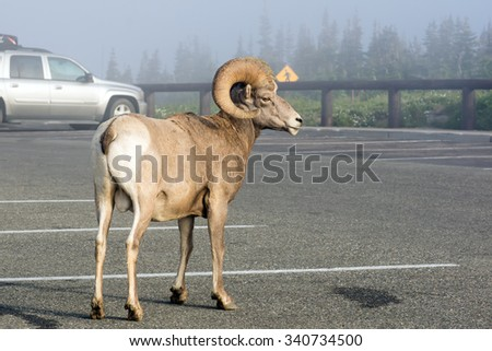 Bighorn sheep (Ovis canadensis)   is early in the morning in the parking lot. Glacier National Park, Montana