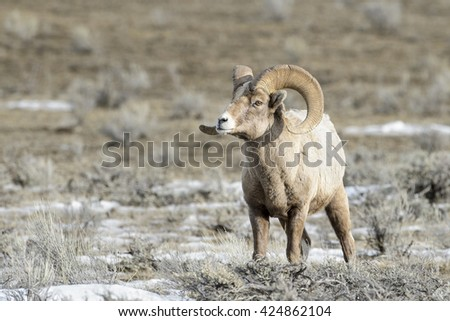 Bighorn Sheep (Ovis canadensis) male, ram, in snow and sage during winter, National Elk refuge, Jackson, Wyoming, USA. - stock photo