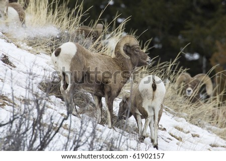 Bighorn Sheep (Ovis canadensis), Yellowstone Nat. Park, Montana, in winter