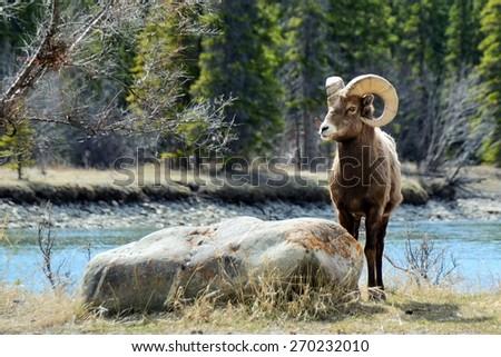 Bighorn Sheep Posing Near Rock in front of Athabasca River, Jasper National Park, Alberta, Canada - stock photo