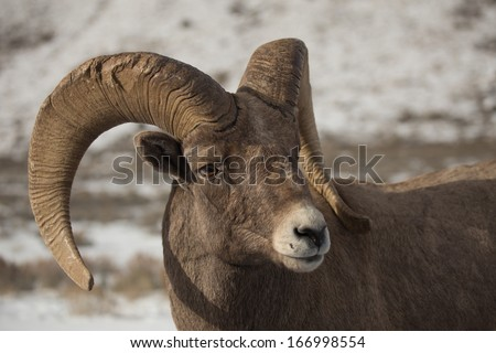 Bighorn Sheep Ram - stock photo