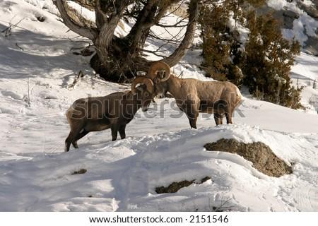 Bighorn sheep ramming heads - stock photo