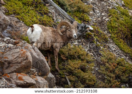 Bighorn sheep standing on a rock in the rocky mountains Canada - stock photo