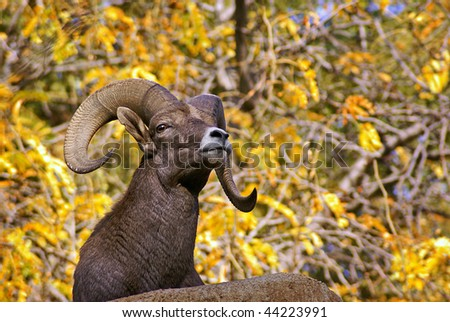 Bighorn Sheep with Large, Curving Antlers Set Against Colorful Foliage - stock photo
