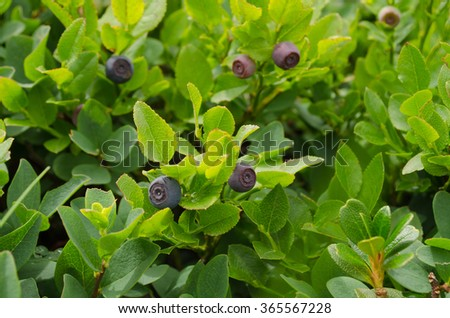 Bilberry shrubs in natural conditions - stock photo