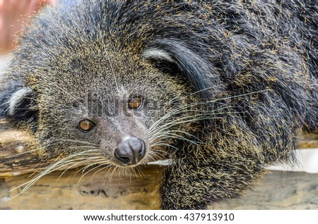 Binturong or Bearcat on the wood