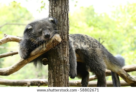 Binturong portrait with large whiskers