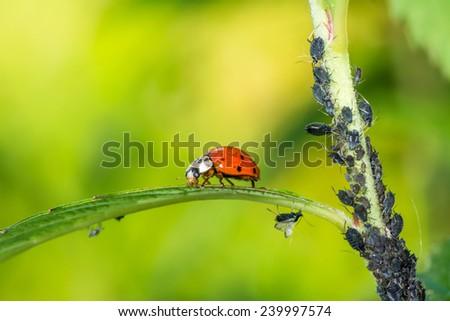 Biological pest control - ladybug eating lice - stock photo