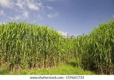 Biomass Fuel. Fields of tall grass are appearing round the countryside as farmers grow different types to supply Biomass Power Stations that are said to offer a green alternative to fossil fuels.