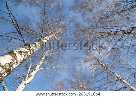 birch against the blue sky - stock photo