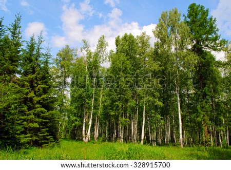 Birch and pine forest in summer - stock photo