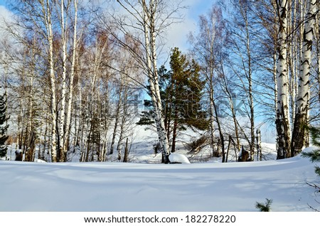 Birch and pine in a forest against the background of snow, blue sky and white clouds - stock photo
