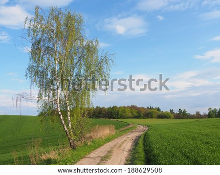 Birch and road in spring- horizontal - stock photo