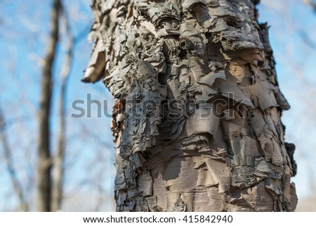 Birch bark close-up. Selective focus with shallow depth of field.