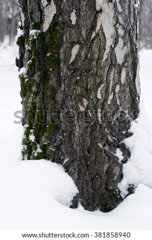 Birch bark macro  with moss in snow in winter close up