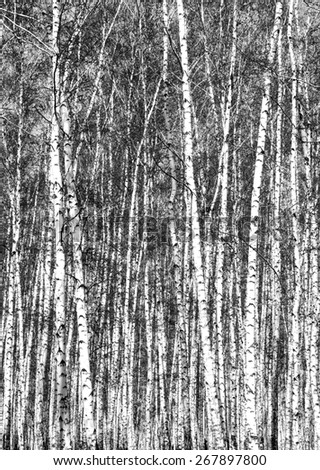 birch, black and white photo