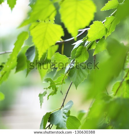 Birch Branch in a Sun Light  Background - stock photo