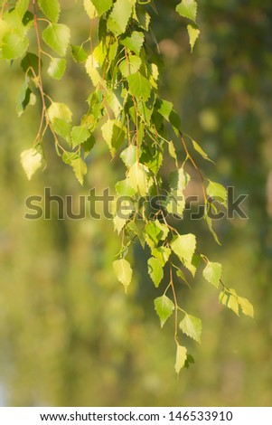 birch branch in nature