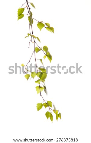 Birch branch isolated on the white background.  - stock photo