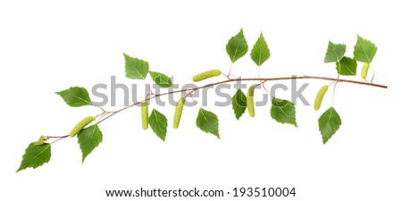 Birch branch with catkins isolated on white. - stock photo