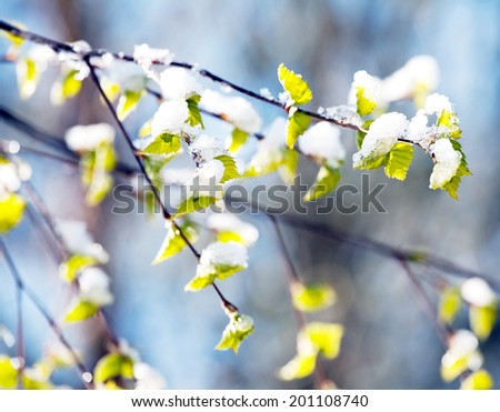 birch branch with young green leaves under sudden snow on outdoor background - stock photo