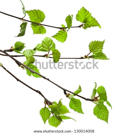 birch branches on a white background - stock photo