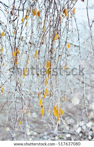 Birch branches with icicles under freezing rain