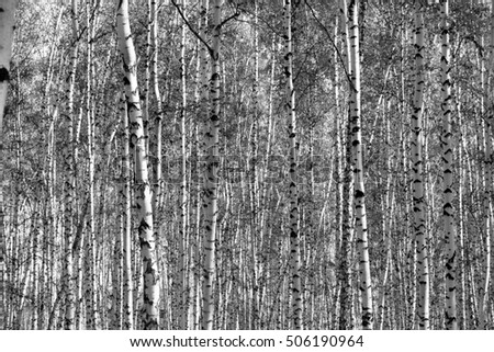 birch forest background, black and white photo