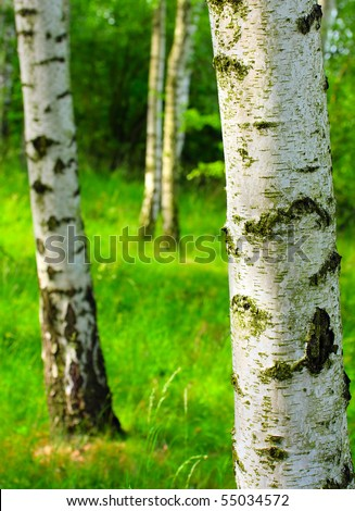 Birch forest. Betula pendula (Silver Birch) Birch resin is used in the pharmacy and cosmetics industry (hair conditioner). Close up with shallow dof. - stock photo