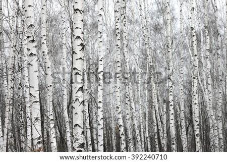birch forest, black-white photo - stock photo