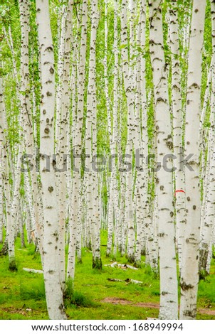 birch forest in Inner-Mongolia, China - stock photo