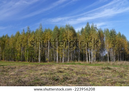 birch forest in Latvia