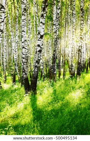 birch forest in sun rays in the morning