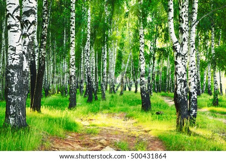 birch forest in sun rays in the mornings